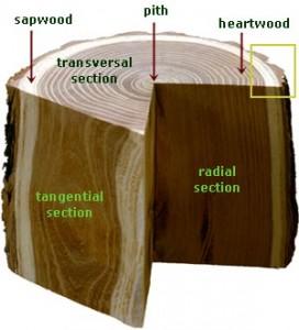 anatomi-kayu jati